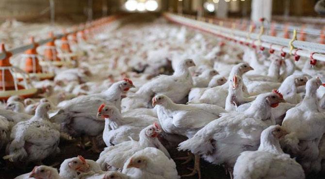 برائلر مرغی کے گوشت کو انسانی صحت کے لئے خطر ناک قرار دے دیا گیا ،ڈاکٹر ماہرین