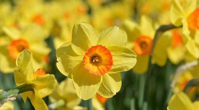 کینسر کا آسان علاج دریافت، نرگس کا پھول کیسے کریگا علاج