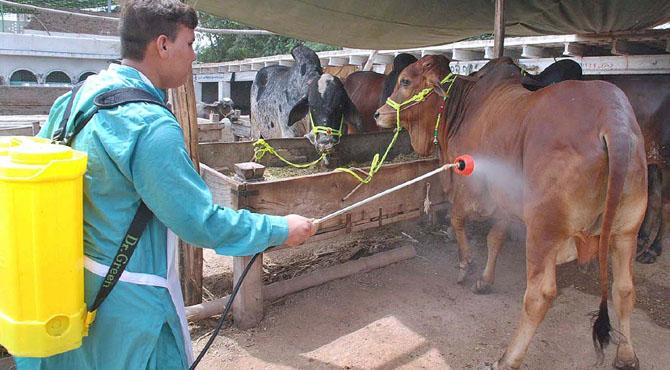 مویشی منڈی جانے سے قبل کیا احتیاطی تدابیر اپنائی جائیں؟