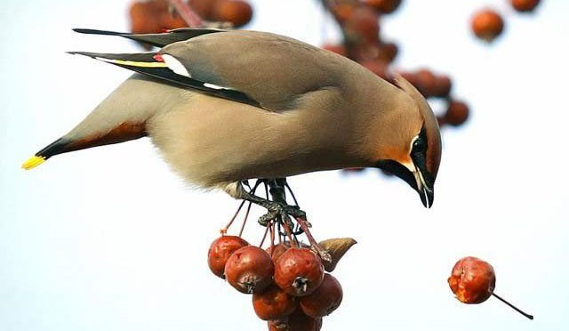 نشہ آور بیریاں کھا کر پرندے بھی شرابی ہونے لگے