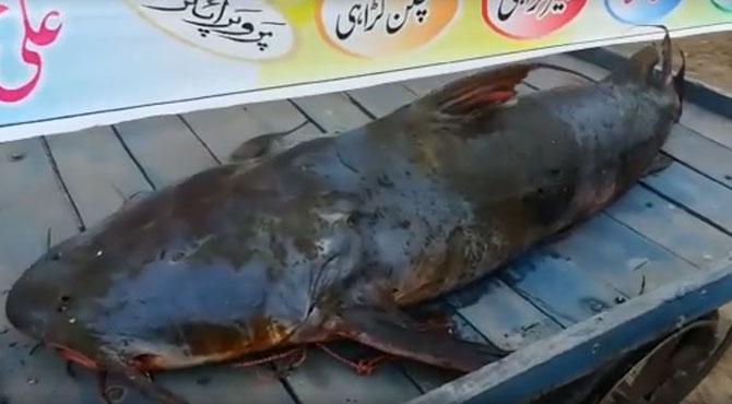 38 کلو وزنی نایاب ترکنڈا مچھلی مچھیروں کے ہاتھ لگ گئی