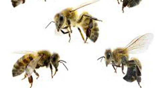 مکھی کے تھوک اور پھولوں کے تیل سے حیاتیاتی گوند کی راہ ہموار