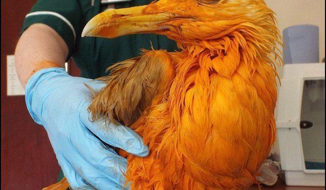 عجیب و غریب پرندہ، شوربے میں لت پت بگلا ثابت ہوا!