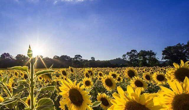 سورج سے بجلی بنانے والے سورج مکھی کے مصنوعی پھول