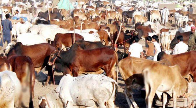 قربانی کے جانور مہنگے؛ قیمتوں نے خریداروں کے ہوش اڑا دیے